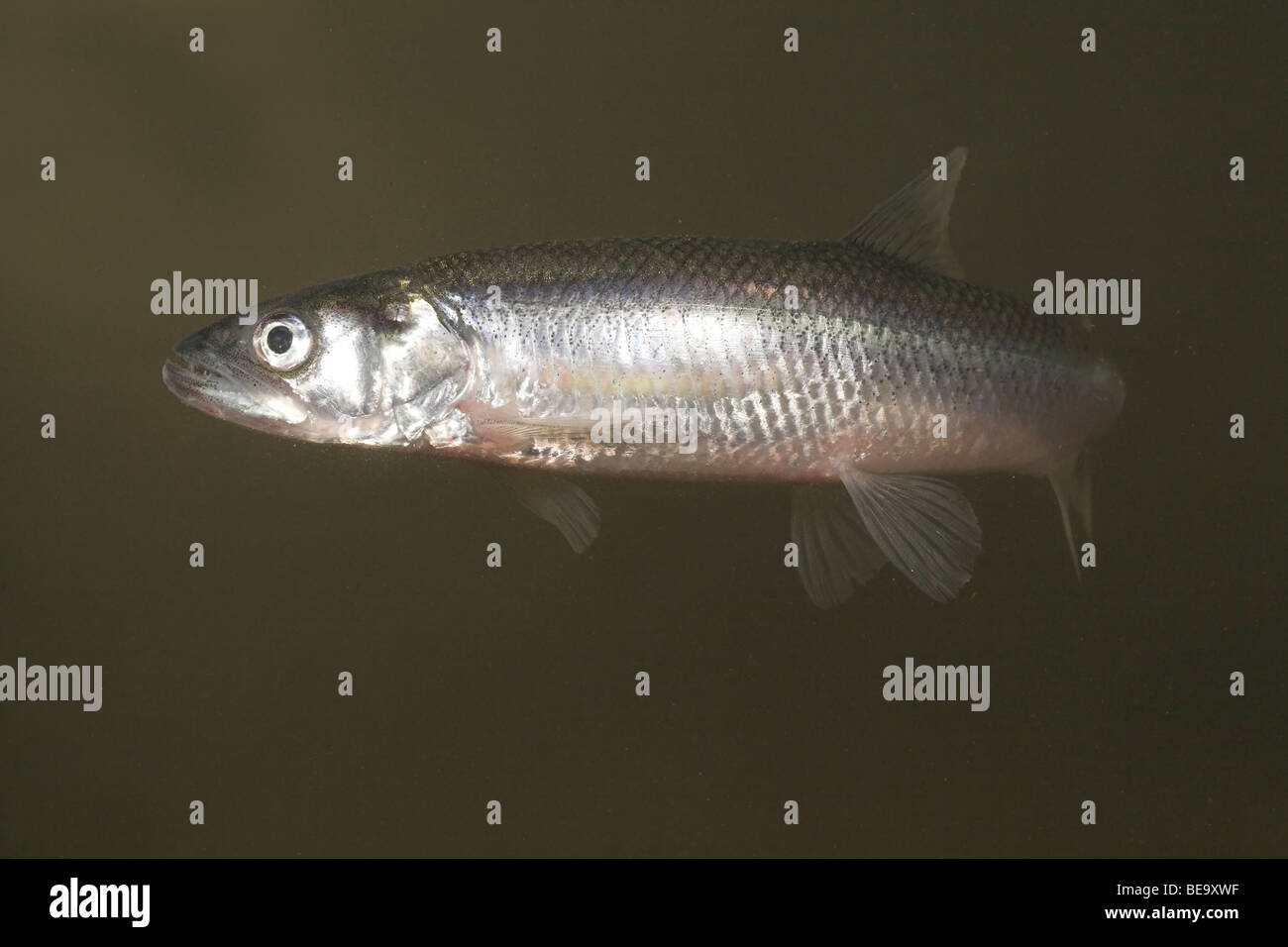 photo of an anadromous European Smelt with its teeth visible Stock Photo