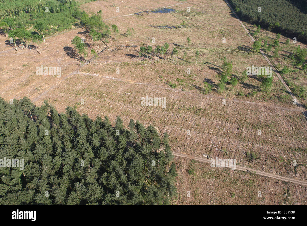 Deforestation of pine forest, forest transformation and development of heather, Belgium - Stock Image
