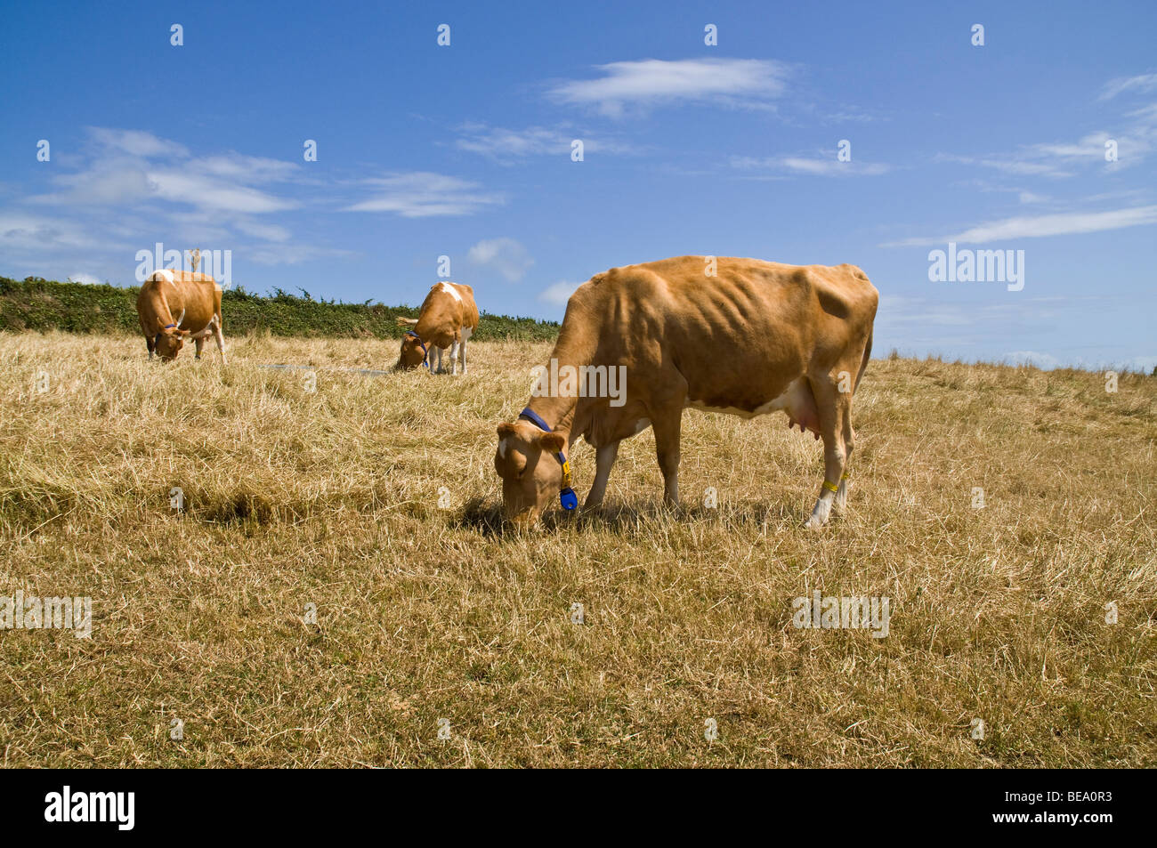 dh Guernsey cow ANIMAL GUERNSEY Guernsey cows grazing in stubbled field - Stock Image