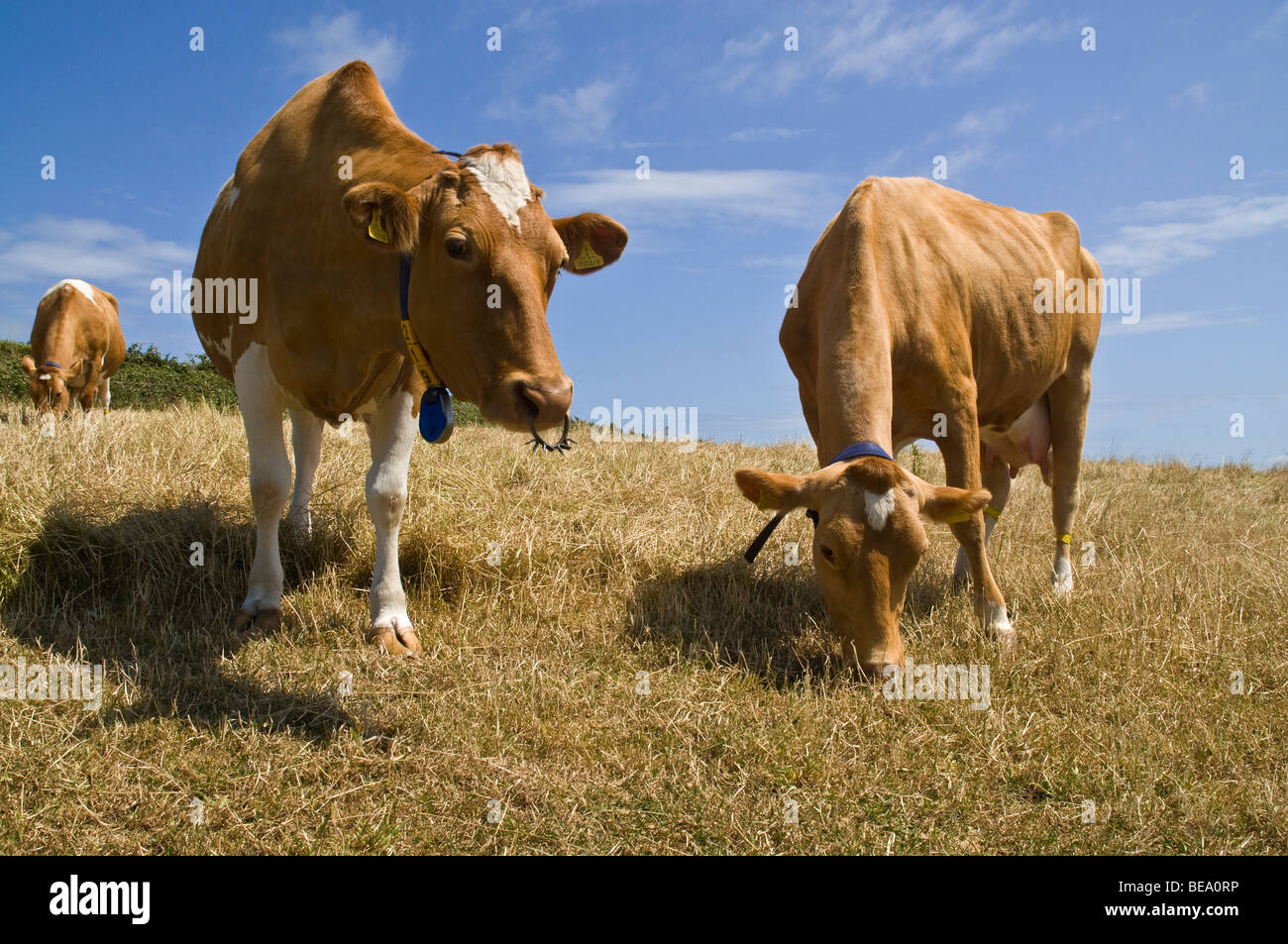 dh Guernsey cow ANIMAL GUERNSEY Guernsey cows in stubbled field - Stock Image