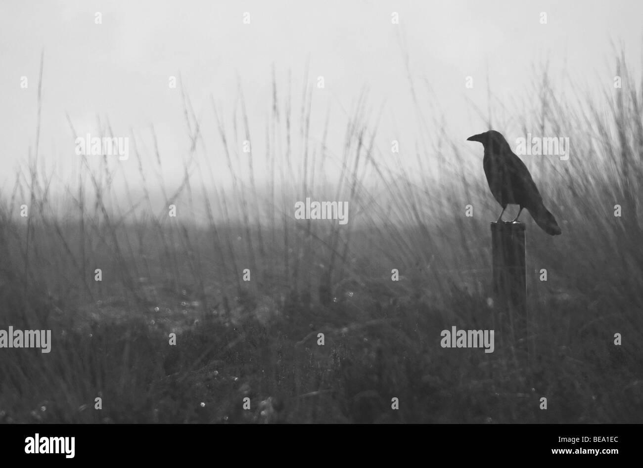 Raaf in tegenlicht kijkt uit over een heideveld; Raven - Stock Image