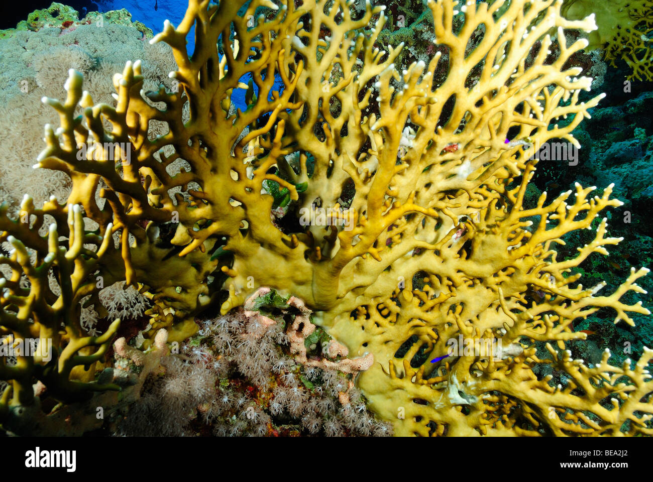Fire coral colony, Red Sea - Stock Image