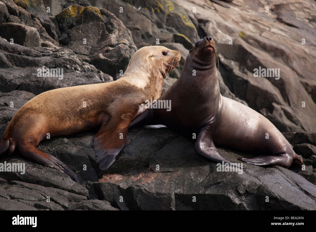 Pair of stellar sea lions in northwest Canada. - Stock Image