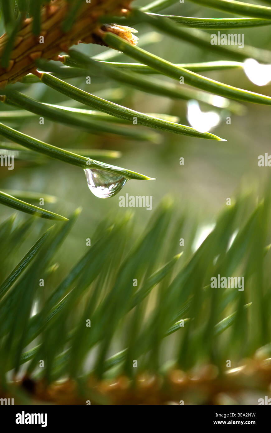 Close up of droplet of pure water on pine tree needle - Stock Image