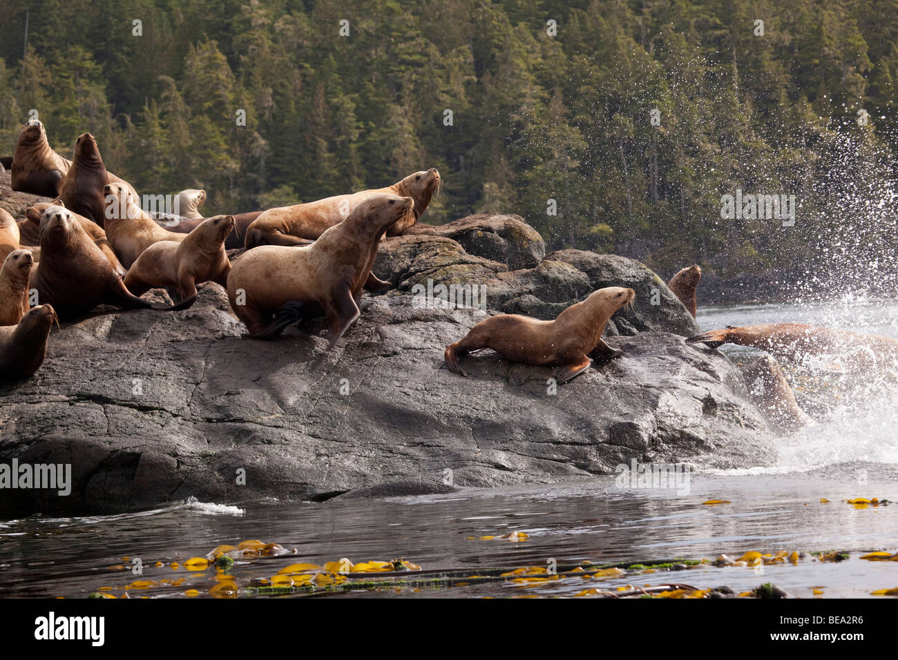 Stellar sea lions diving off a rock into the sea in northwest Canada - Stock Image
