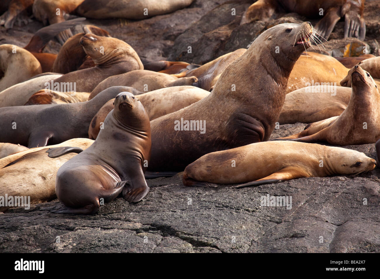 Colony of stellar sea lions in the Pacific Northwest. - Stock Image