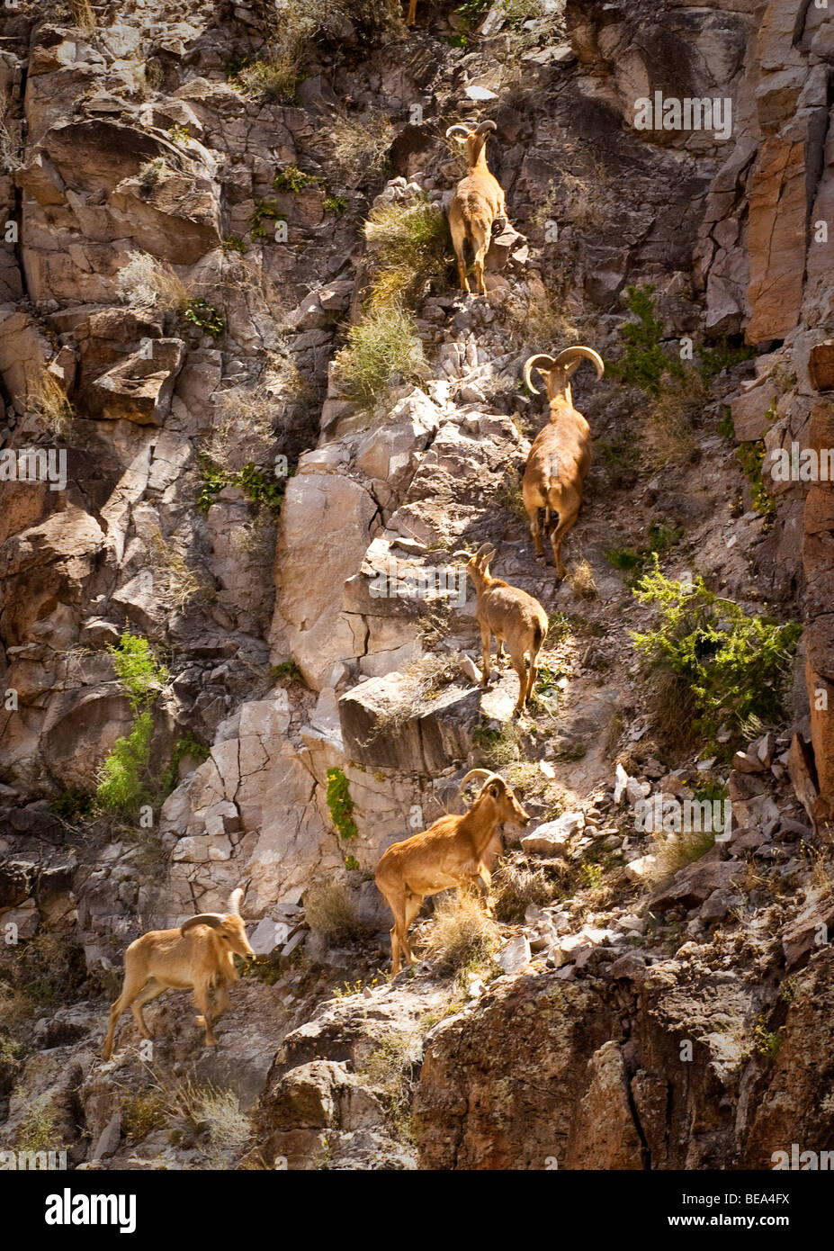Big Horn Sheep climb a cliff on the Mexican side of the Rio Grande near Big Bend RanchState Park, Texas. - Stock Image