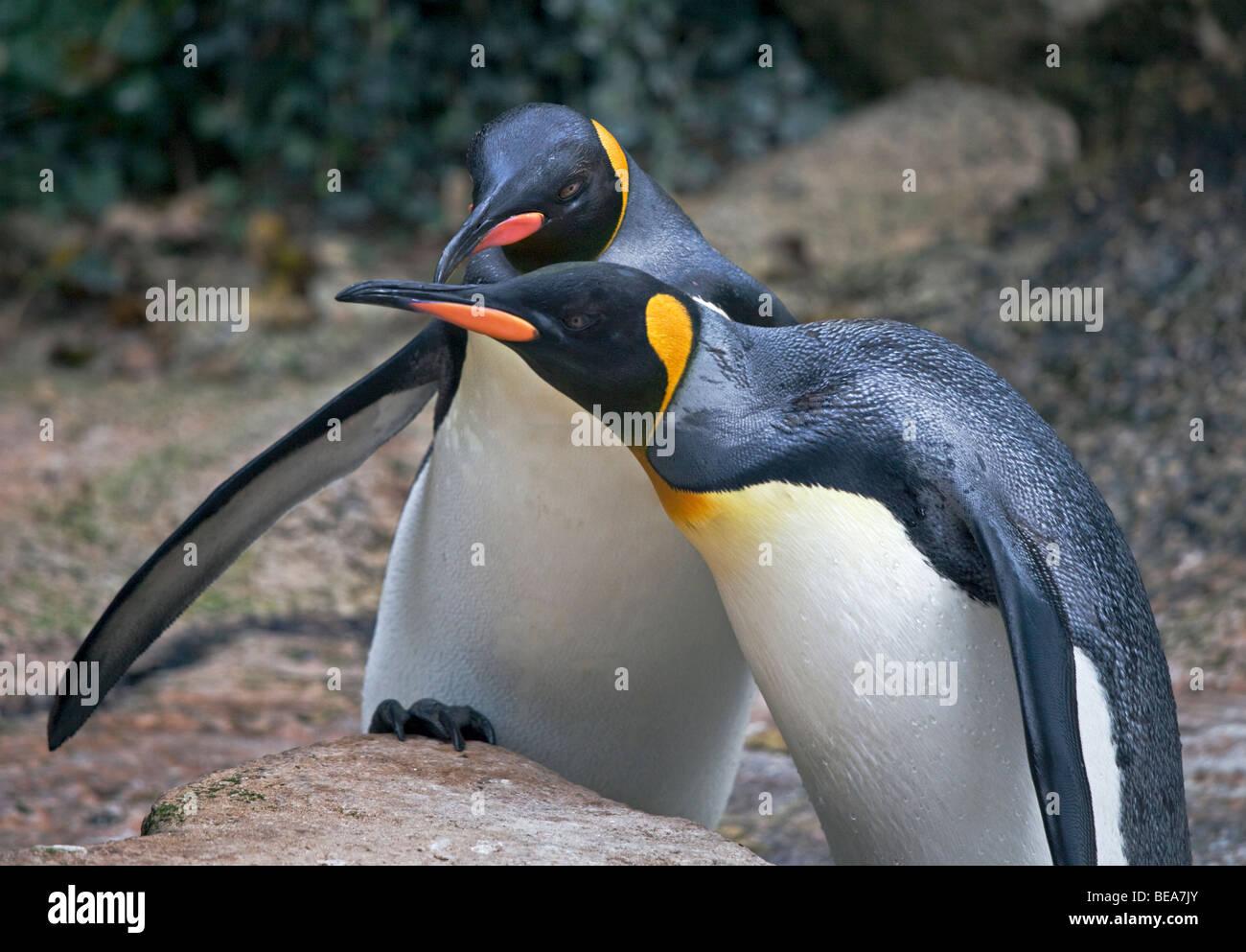 King Penguins (aptenodytes patagonicus) - Stock Image