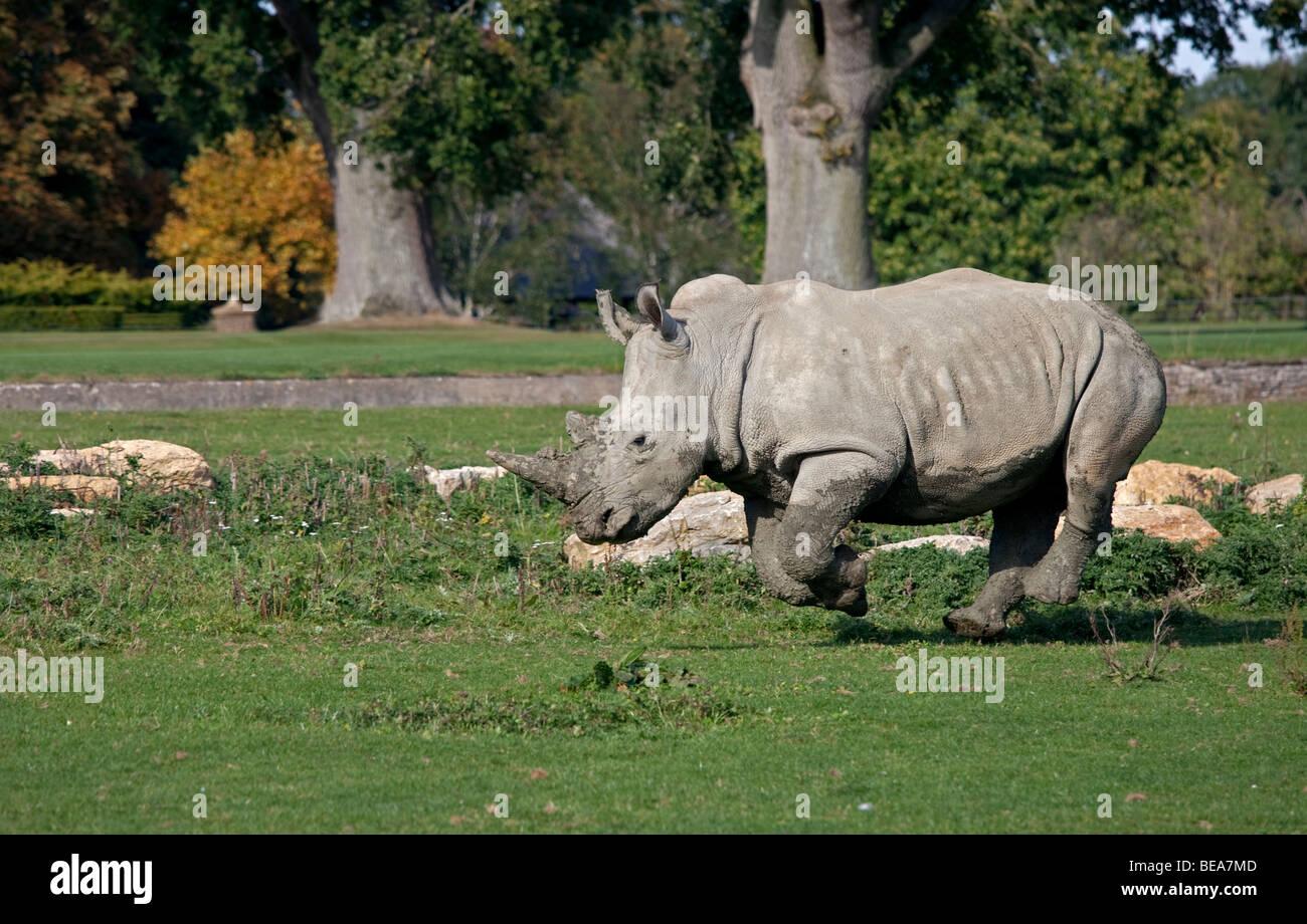 Southern White Rhinoceros (ceratotherium simum simum) - Stock Image