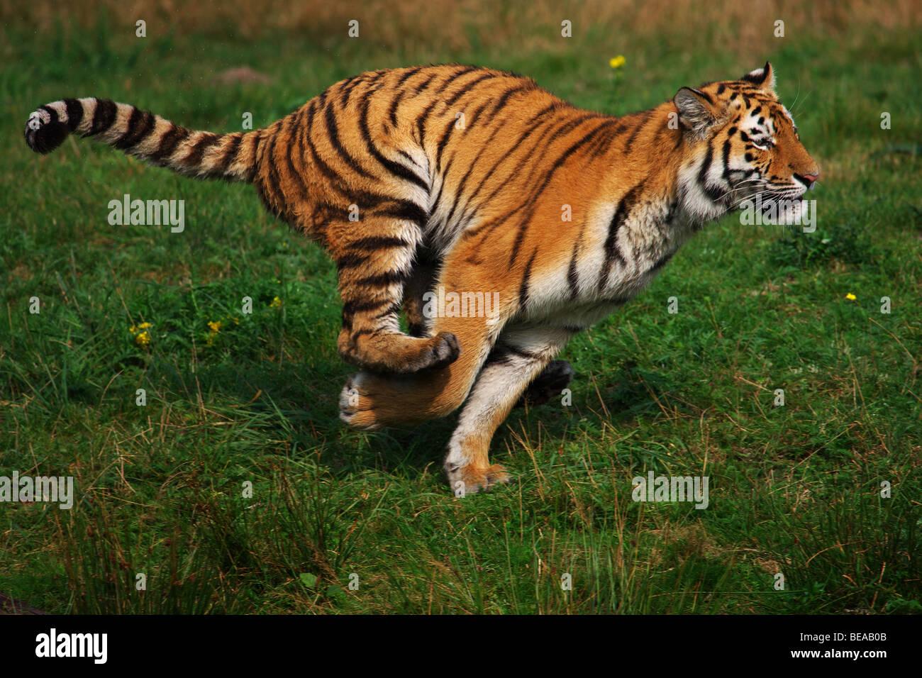 Fast running Siberian Tiger - Stock Image