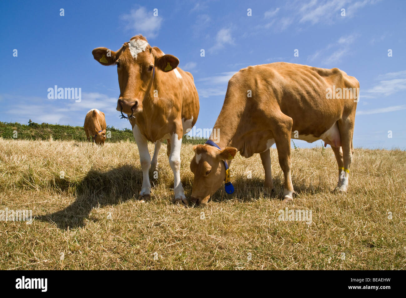 dh Guernsey cow ANIMAL GUERNSEY Guernsey cows in stubbled field dairy milking two farmland cattle - Stock Image