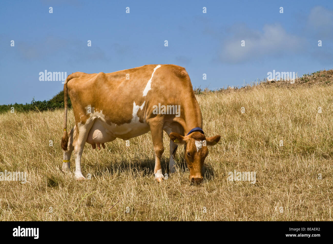 dh Guernsey cow ANIMAL GUERNSEY Guernsey cow dairy grazing in stubbled field grass - Stock Image