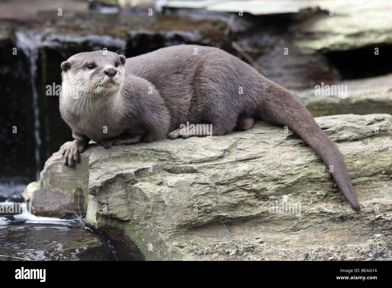 Oriental Small-clawed Otter Aonyx cinerea Taken At Martin Mere WWT, Lancashire UK - Stock Image