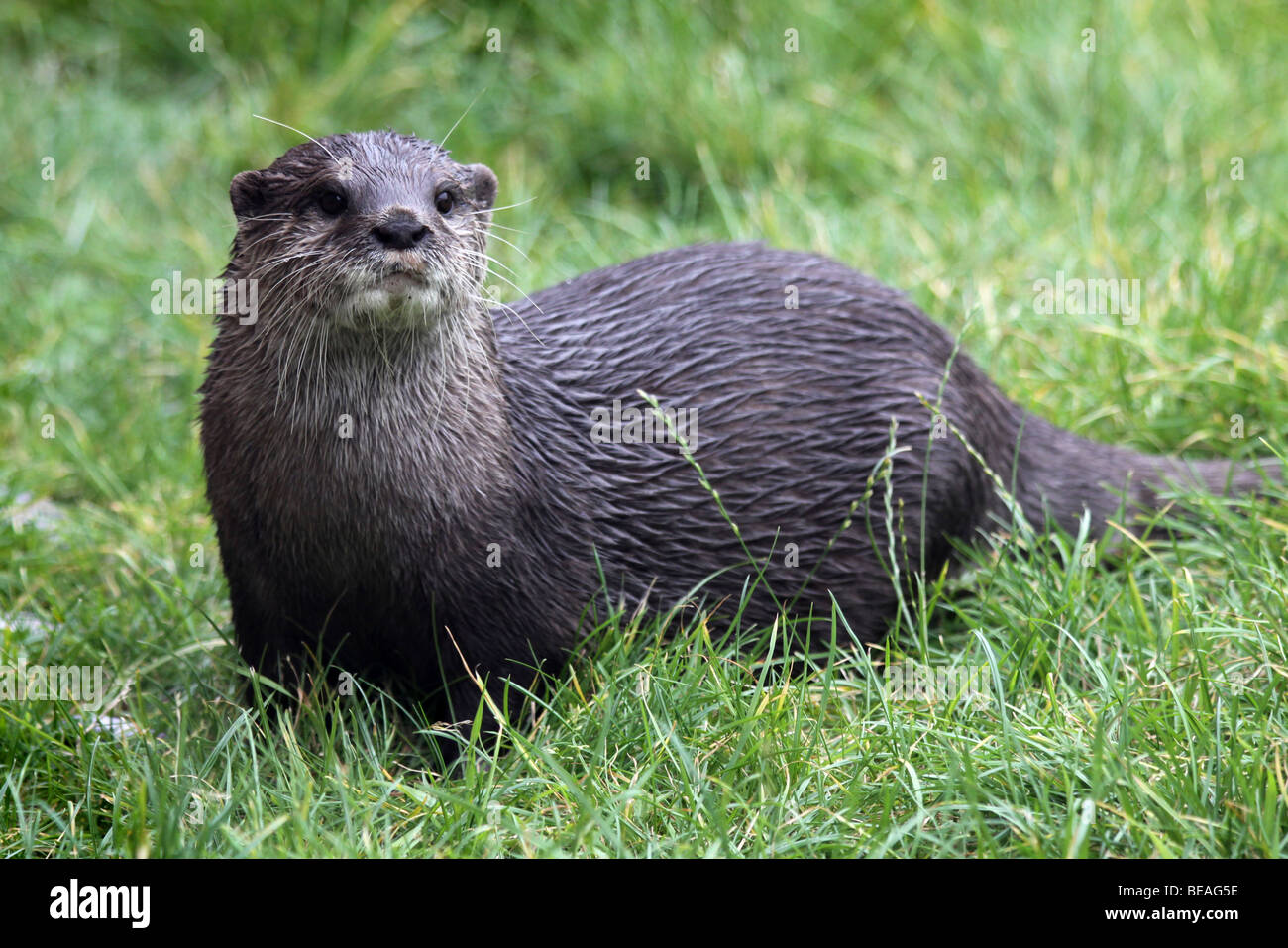 Oriental Small-clawed Otter Aonyx cinerea In Grass Taken At Martin Mere WWT, Lancashire UK - Stock Image