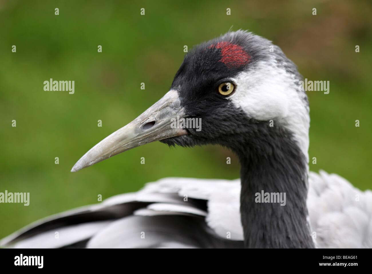 Head Of Common Crane Grus grus Taken At Martin Mere WWT, Lancashire UK - Stock Image