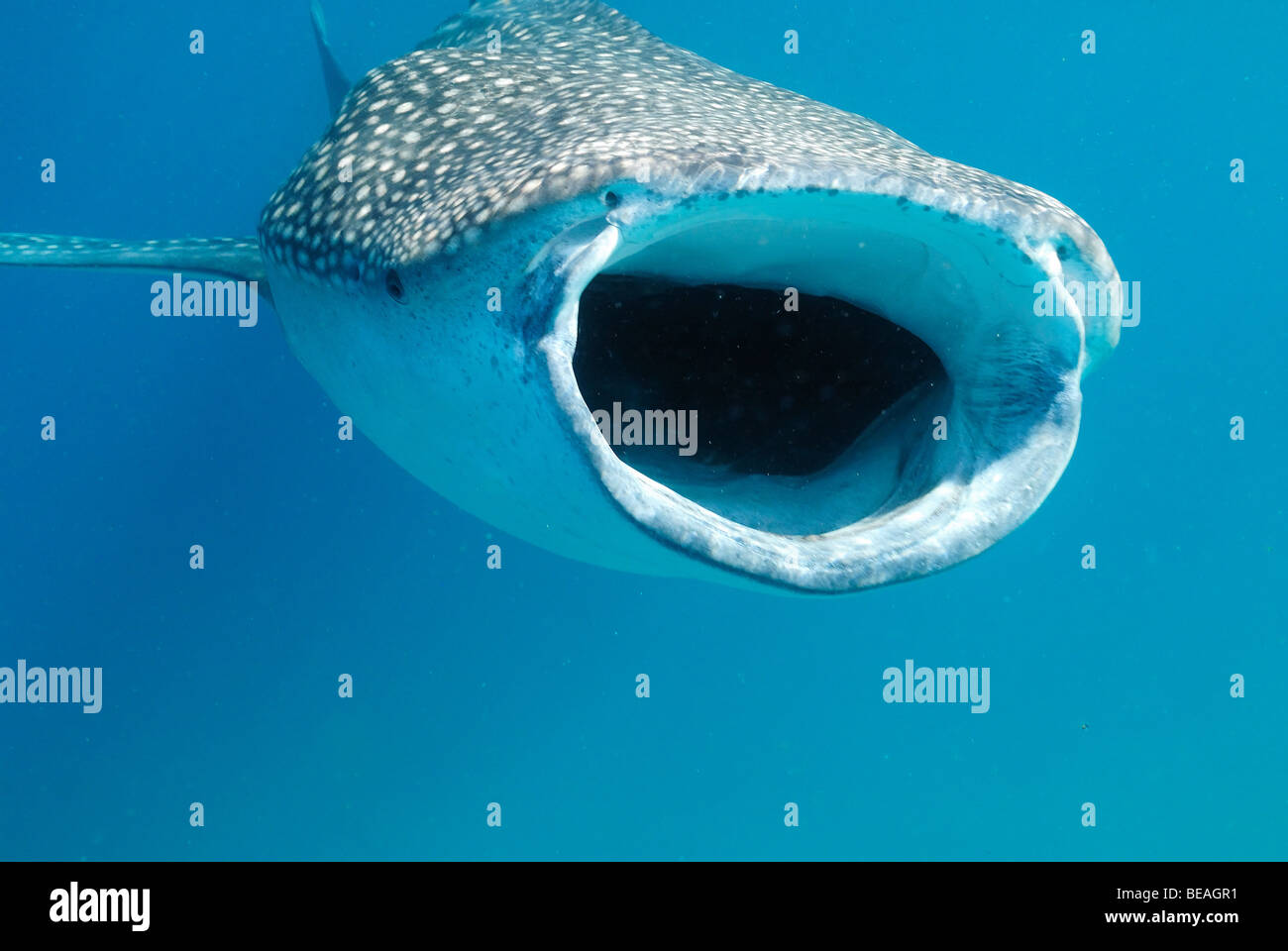 Whale shark swimming and feeding, Bay of Tadjoura, Gulf of Aden - Stock Image