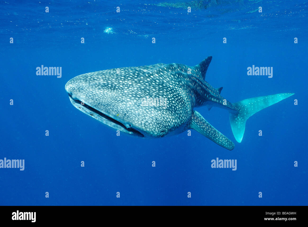 Whale shark swimming, Bay of Tadjoura, Gulf of Aden - Stock Image