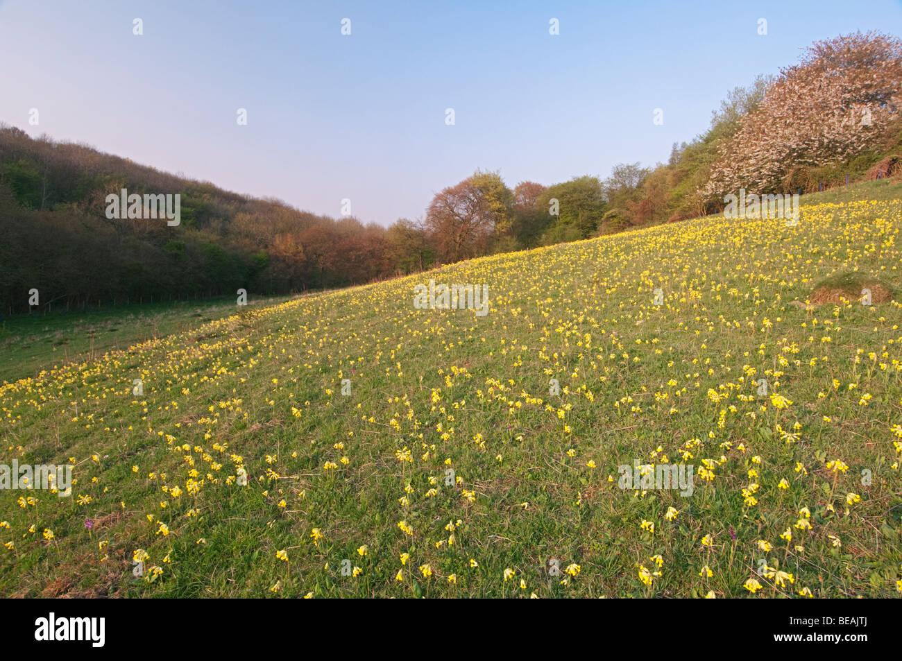 Cowslip, Primula veris, North Downs, Kent, England Stock Photo