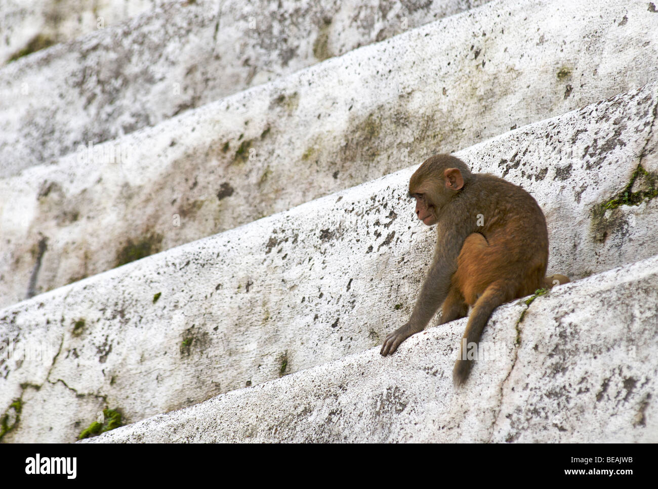Young monkey on the steps of a temple beside the burning ghats of  Katmandhu, Pashupatinath, Nepal - Stock Image
