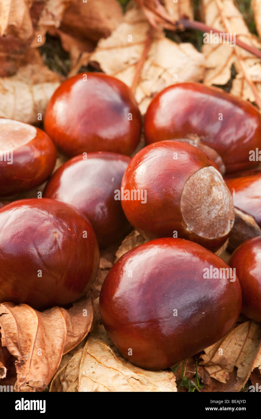 Conkers on autumn leaves - Stock Image