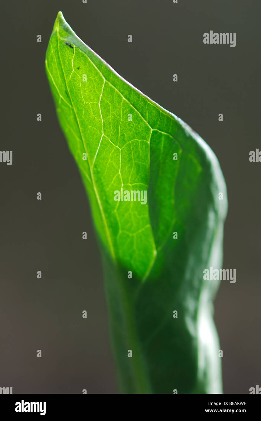 Lords and Ladies, Arum maculatum, Kent, England - Stock Image