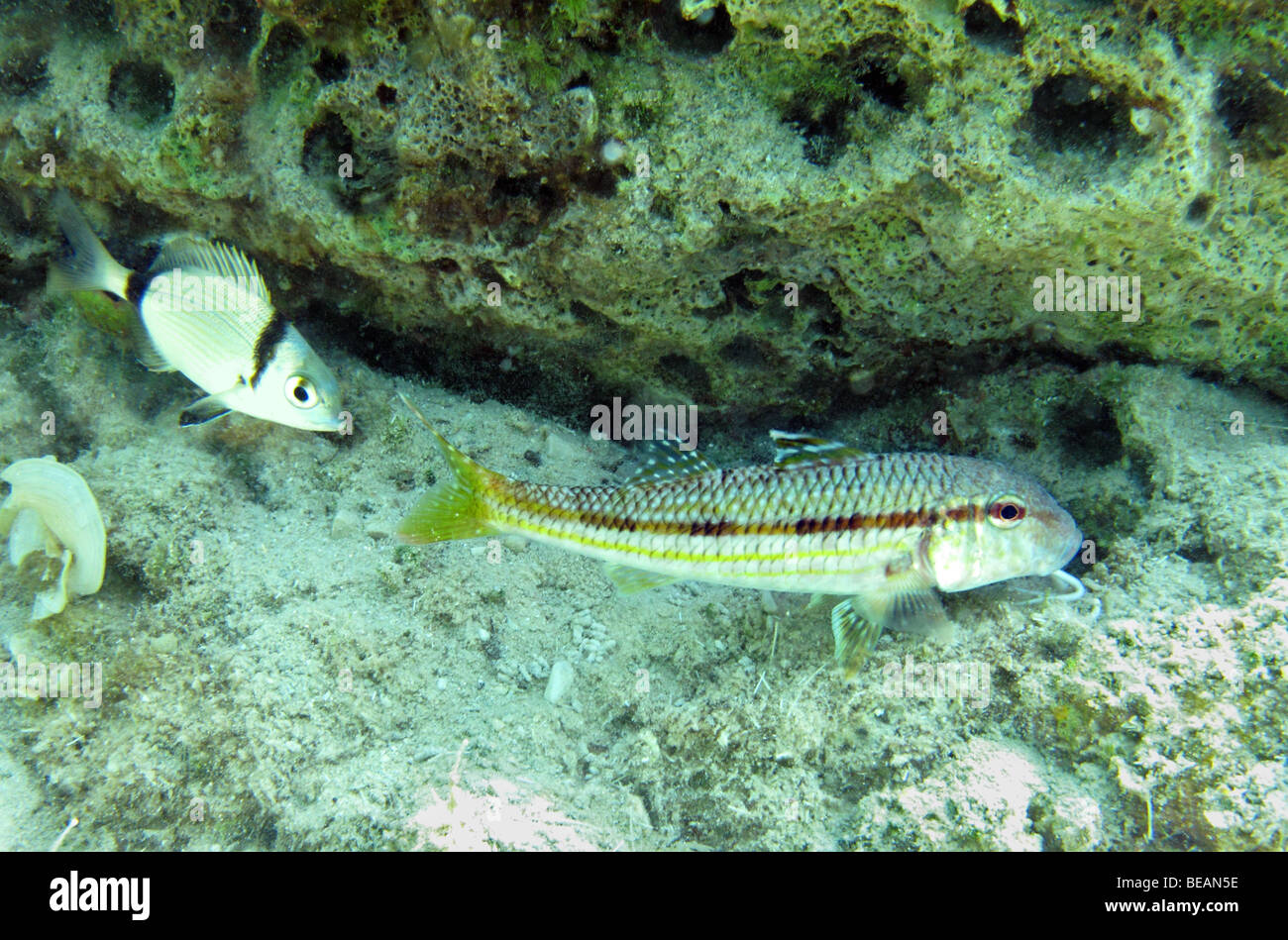 Red mullet, Mullus barbatus and Common two-banded seabream fish symbiosis - Stock Image