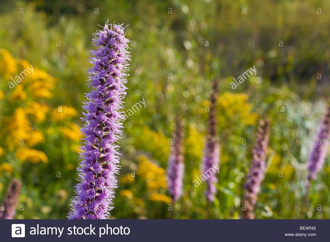 Dense Blazing-star  a wildflower in Rouge Park an urban wilderness in Toronto Ontario Canada - Stock Image