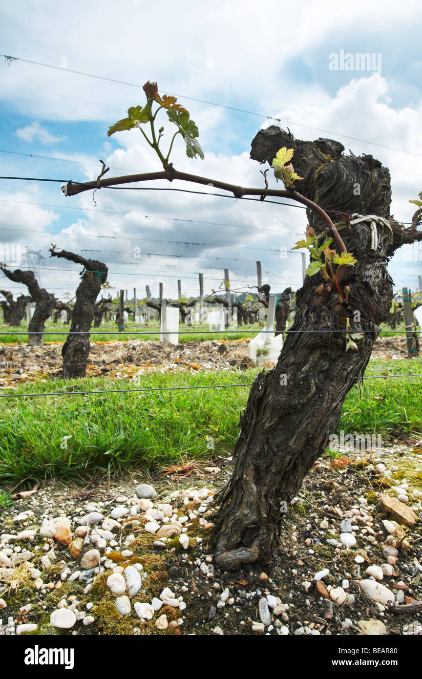 merlot 35 year old vine sandy gravelly soil chateau la garde pessac leognan graves bordeaux france - Stock Image