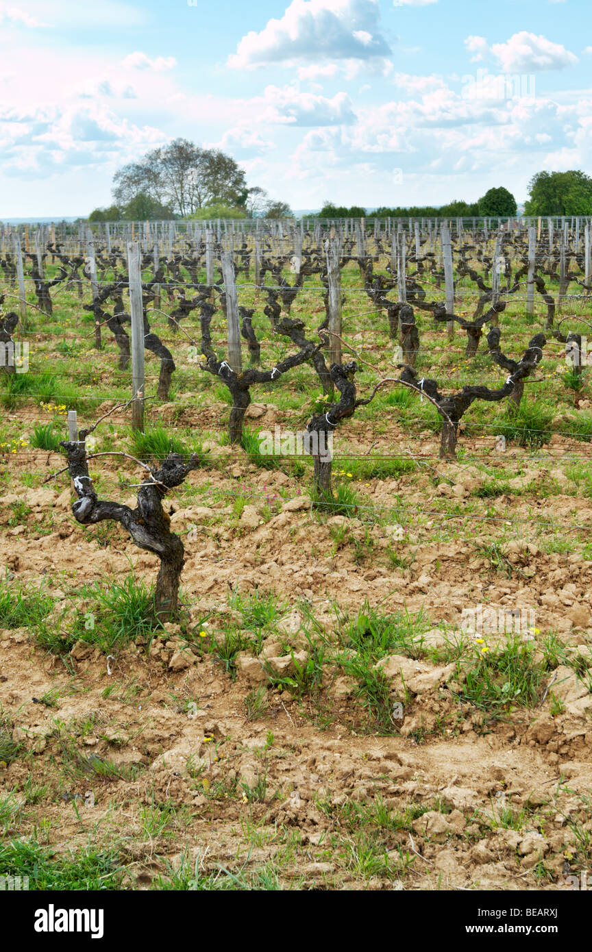 guyot trained vines old vine ch moulin du cadet saint emilion bordeaux france - Stock Image