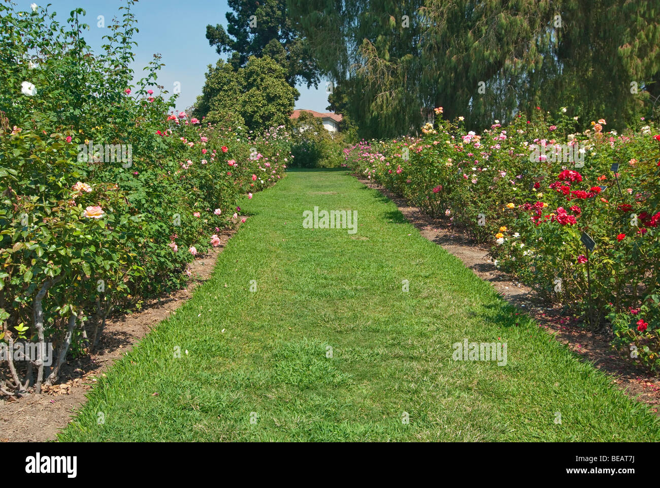 Beautiful Rose Garden At The Huntington Library And Botanical Stock Photo Alamy