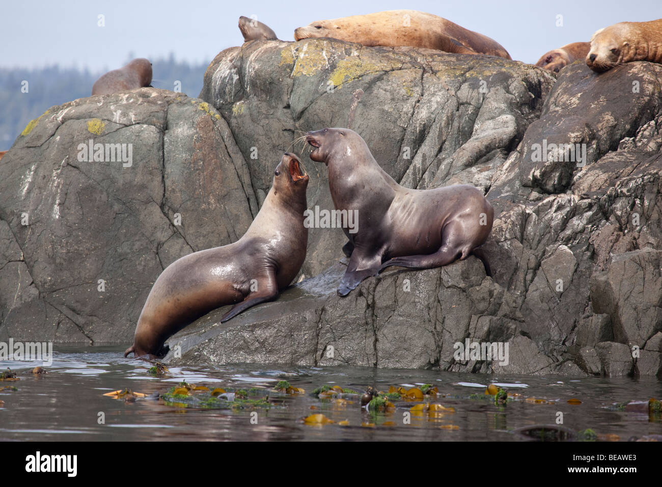 Stellar sea lions fighting on a rock in Canada - Stock Image