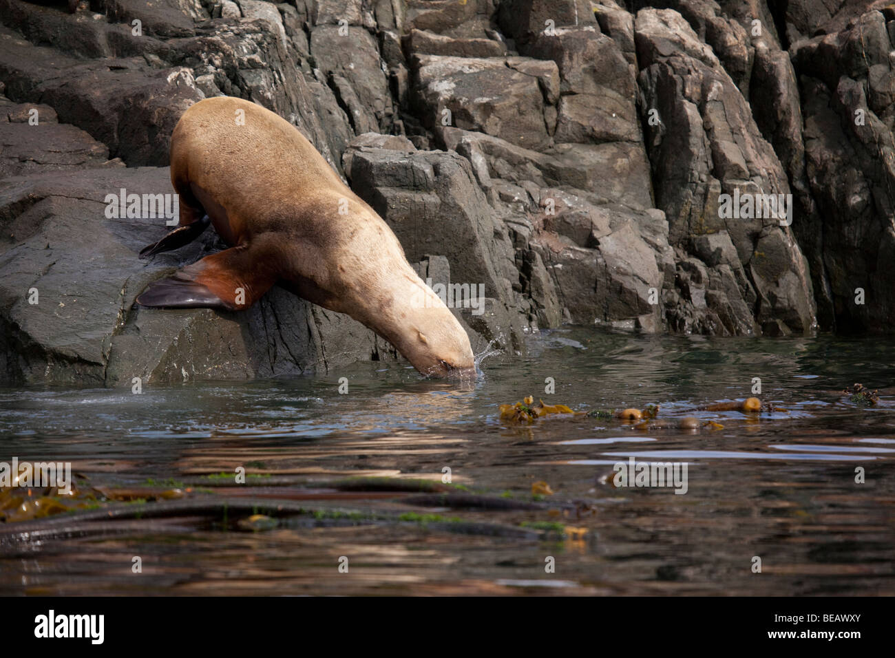 Stellar sea lion diving off a rock into the sea in northwest Canada - Stock Image