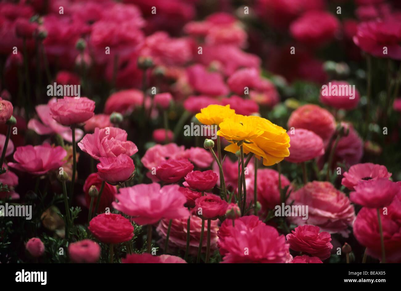 Yellow And Pink Ranunculus Flowers Calsbad California Stock Photo