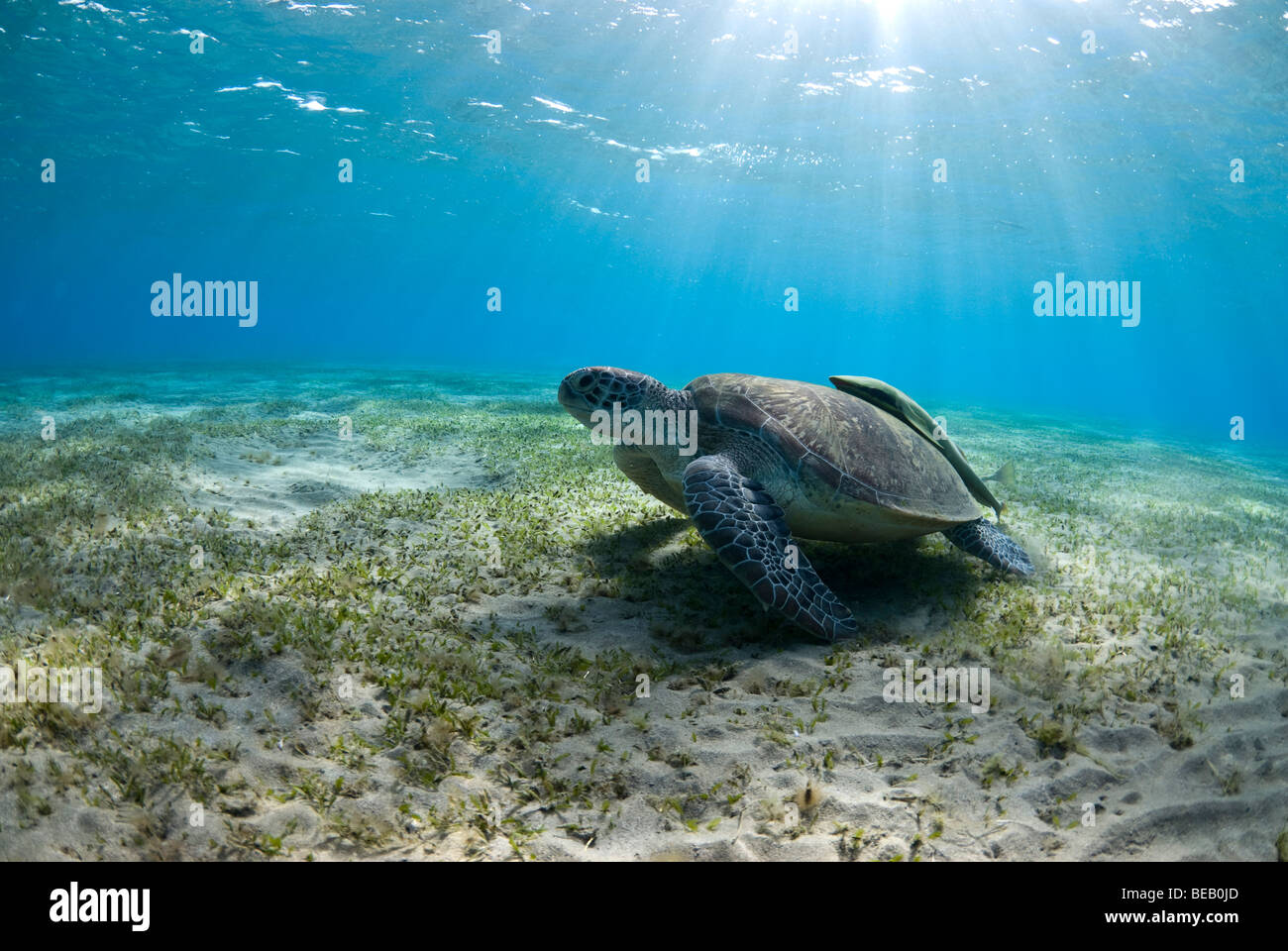 Green sea turtle feeding on the sea grass in shallow bay. Chelonia mydas - Stock Image