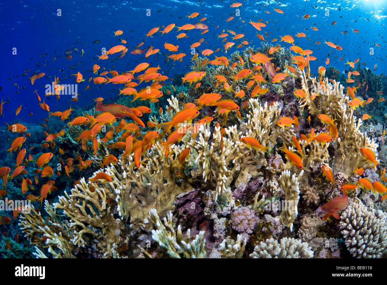 Sunrise on the fire coral reef with shoal of anthias. - Stock Image