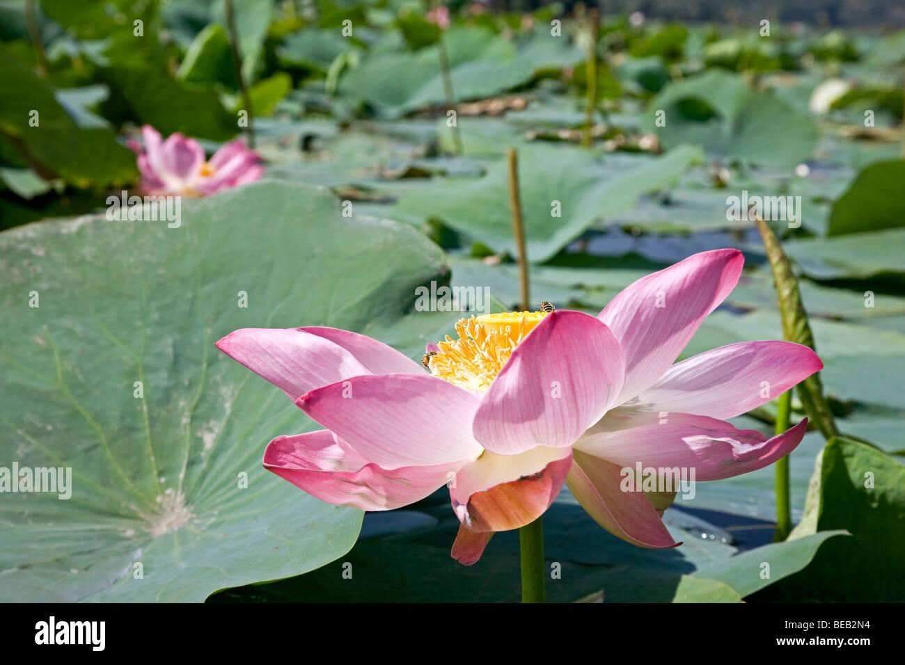 Nelumbium speciosum stock photos nelumbium speciosum stock images lotus flower manasbal lake kashmir india stock image izmirmasajfo