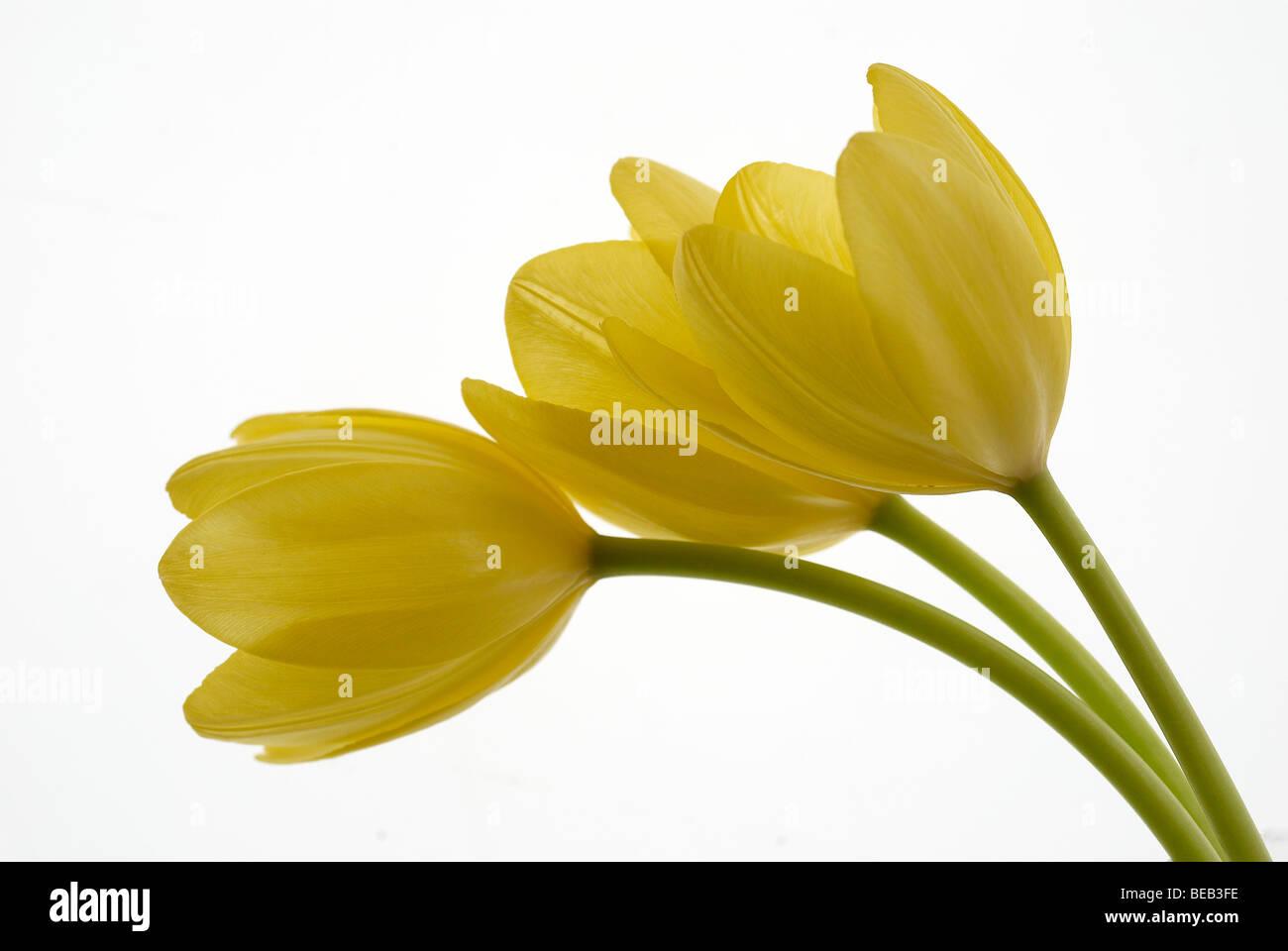Tulip yellow tulip white background flowers flower 3 tulips tulip yellow tulip white background flowers flower 3 tulips stems close up close up macro profile summer yellow mightylinksfo