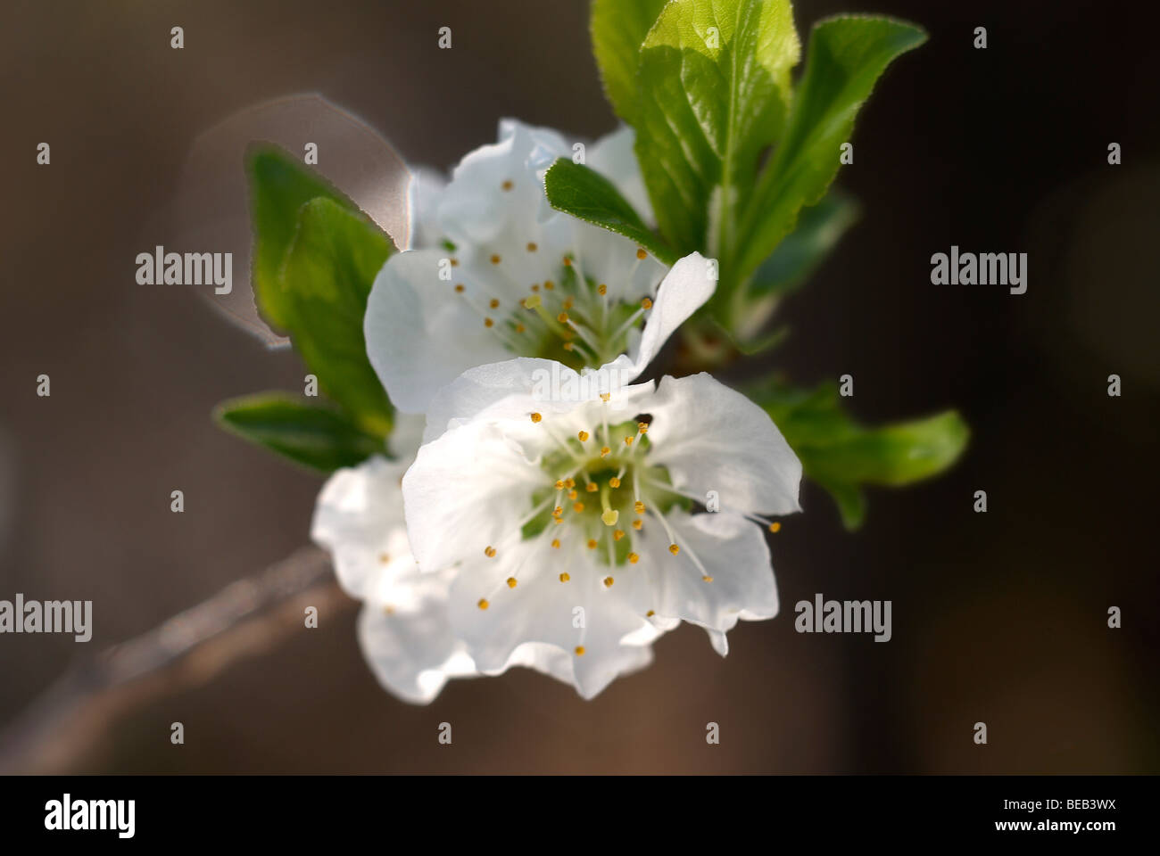 White Plum Tree Blossoms Stock Photos White Plum Tree Blossoms