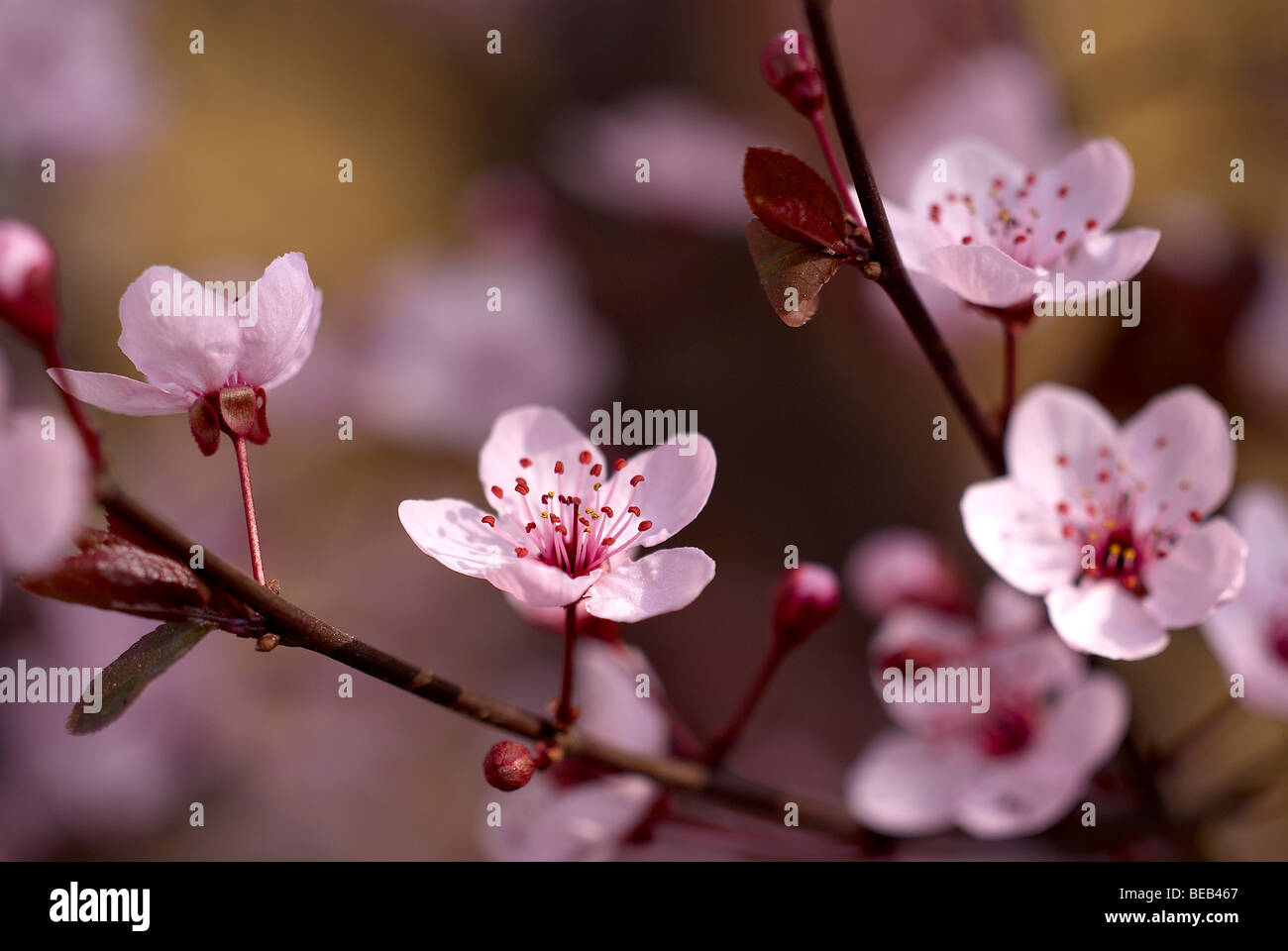 Plum tree blossoms - Stock Image