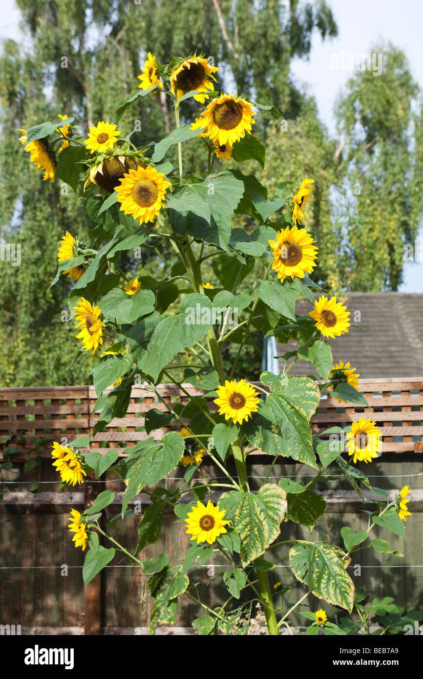 Multi Headed Sunflower 32 Flower Heads On A Single Stalk