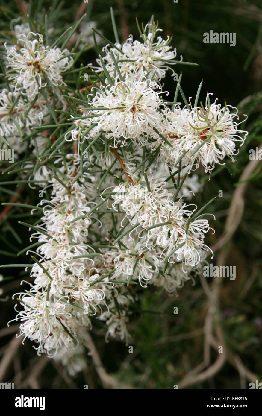 Melaleuca bracteosa, Myrtaceae, Western Australia - Stock Image