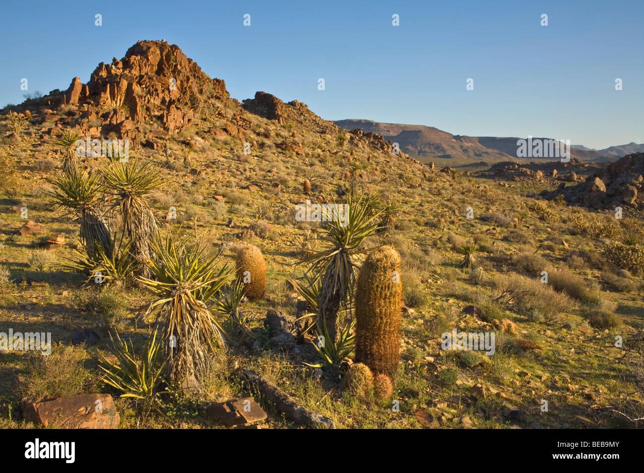 Mojave Desert vegetation, barrel cactus and yucca in Colton Hills area of Mojave National Preserve, California - Stock Image