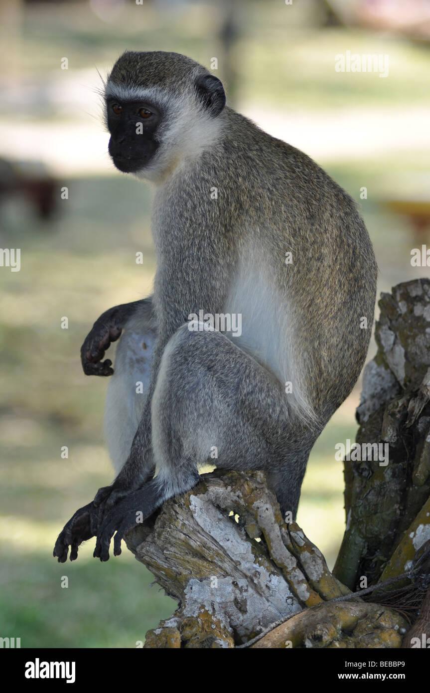 Vervet Monkey Chlorocebus Diani beach Kenya Africa - Stock Image
