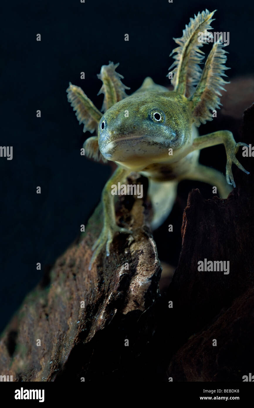 Great crested newt larva showing its gills - Stock Image