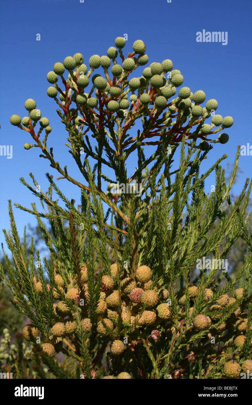 Seed Heads On South African Fynbos Vegetation Stock Photo