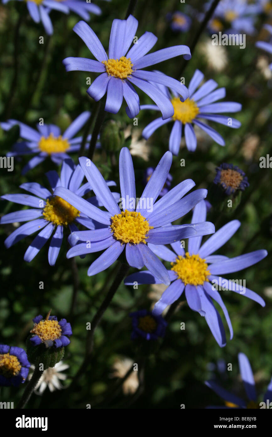 Blue daisies stock photos blue daisies stock images alamy blue aster daisies flowering in kwa zulu natal province south africa stock image izmirmasajfo Image collections
