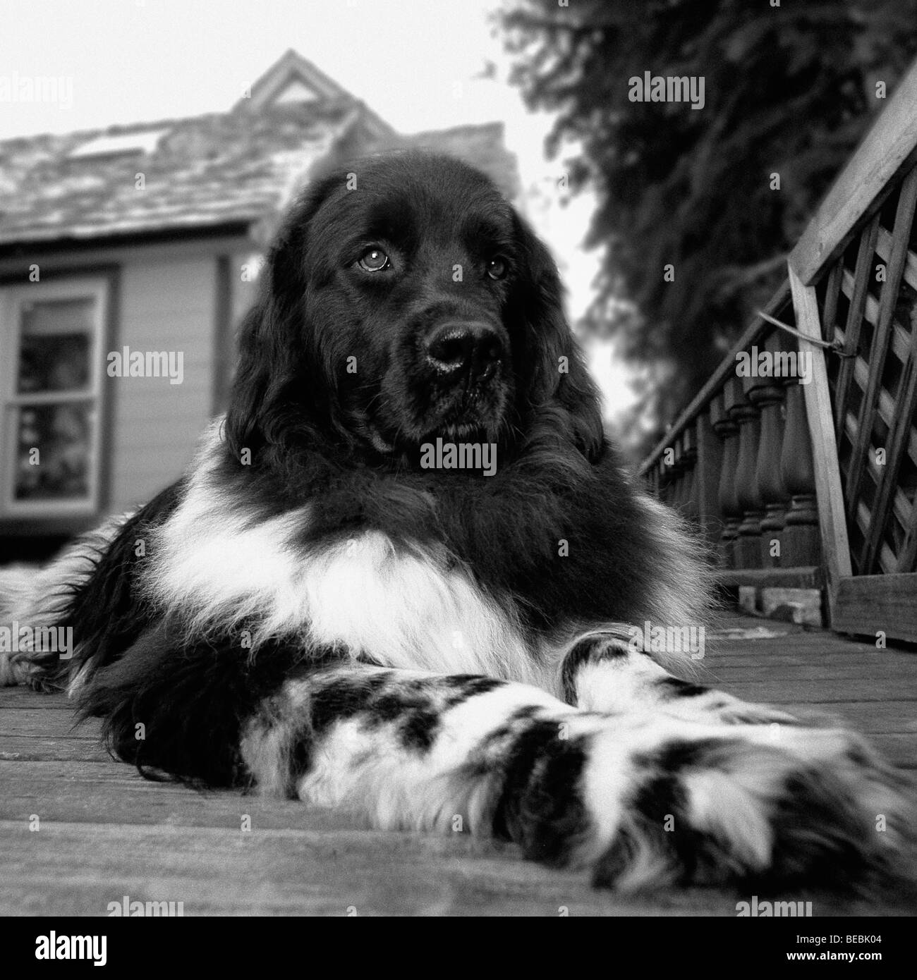 Dog lying in front of a house - Stock Image