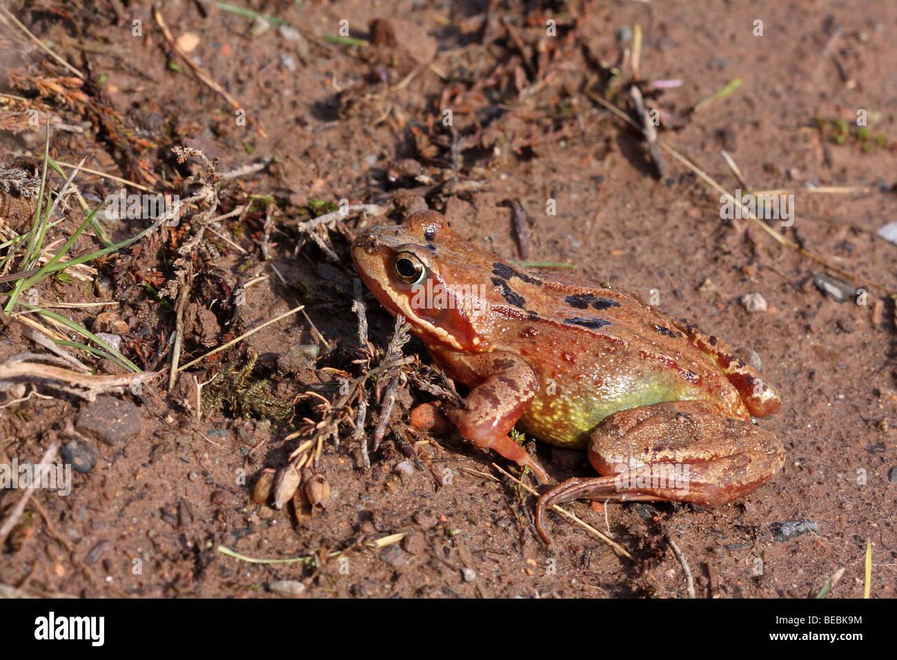 Frog, Rana temporaria, an orange colour morph - Stock Image