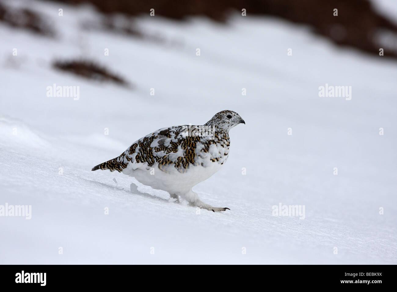 Ptarmigan, Lagopus mutus female in late winter - Stock Image