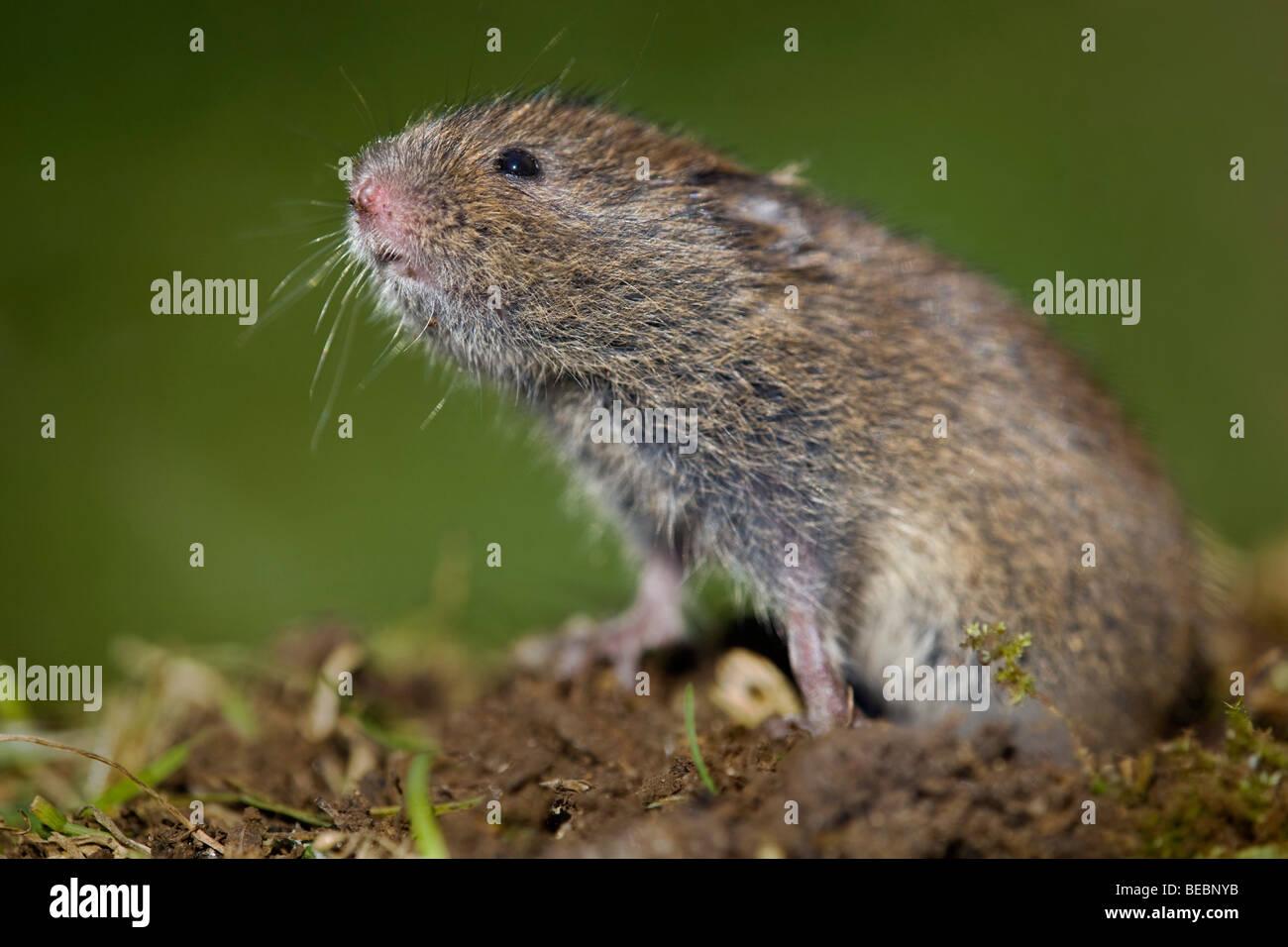 field vole; Microtus agrestis; - Stock Image
